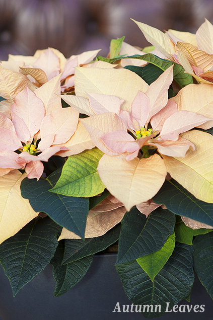 Poinsettia - Autumn Leaves
