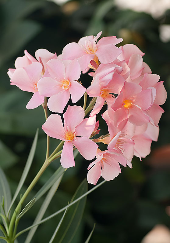 Traitement des lauriers roses laurierrose rouge fleur du laurier rose laurier rose alsace la - Quand tailler un laurier rose ...