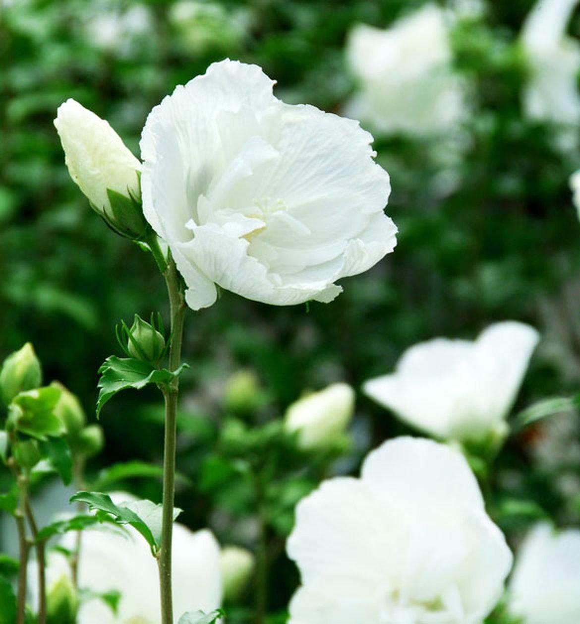 Donnez une note exotique à votre extérieur avec des hibiscus ...