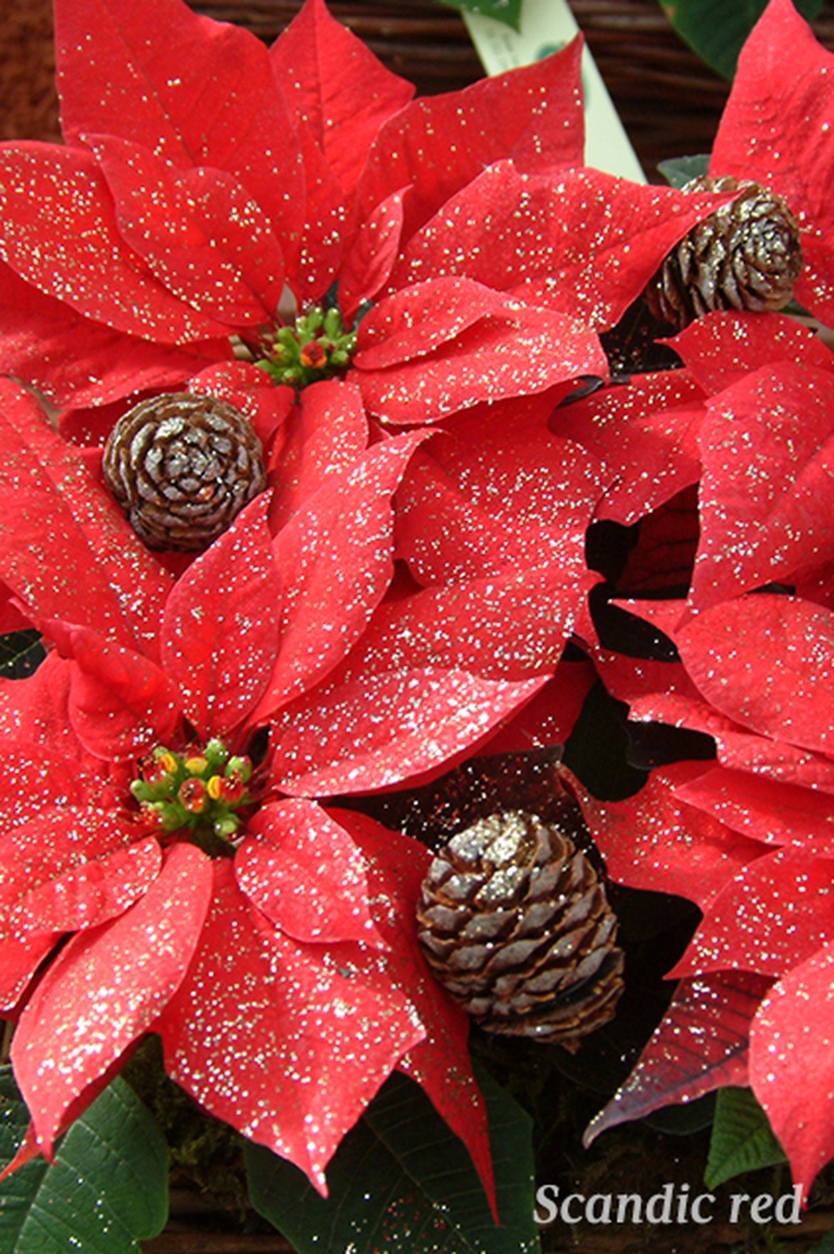 Poinsettia - Scandic Red