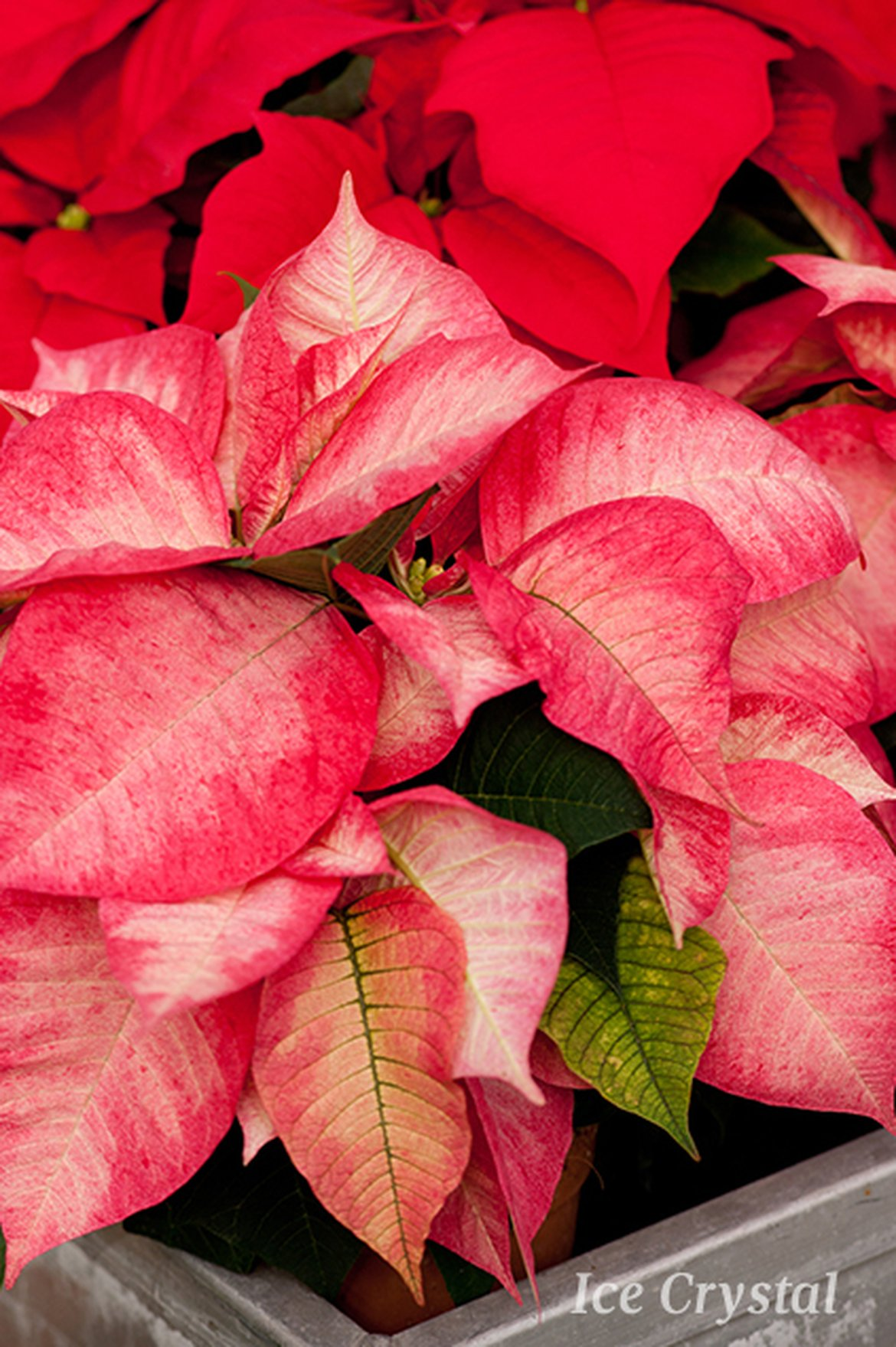 Poinsettia - Ice Crystal