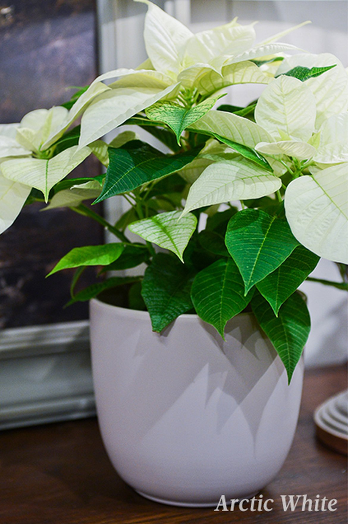 Poinsettia - Arctic White