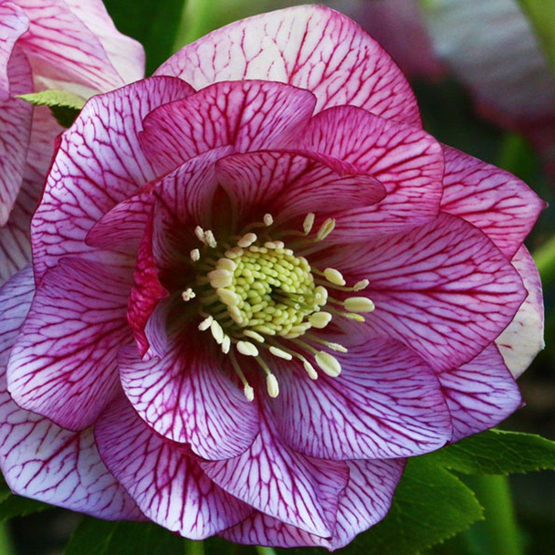 Hellebore Rose De Noel Entretien fleurissez vos jardins dès la fin de l'hiver avec des
