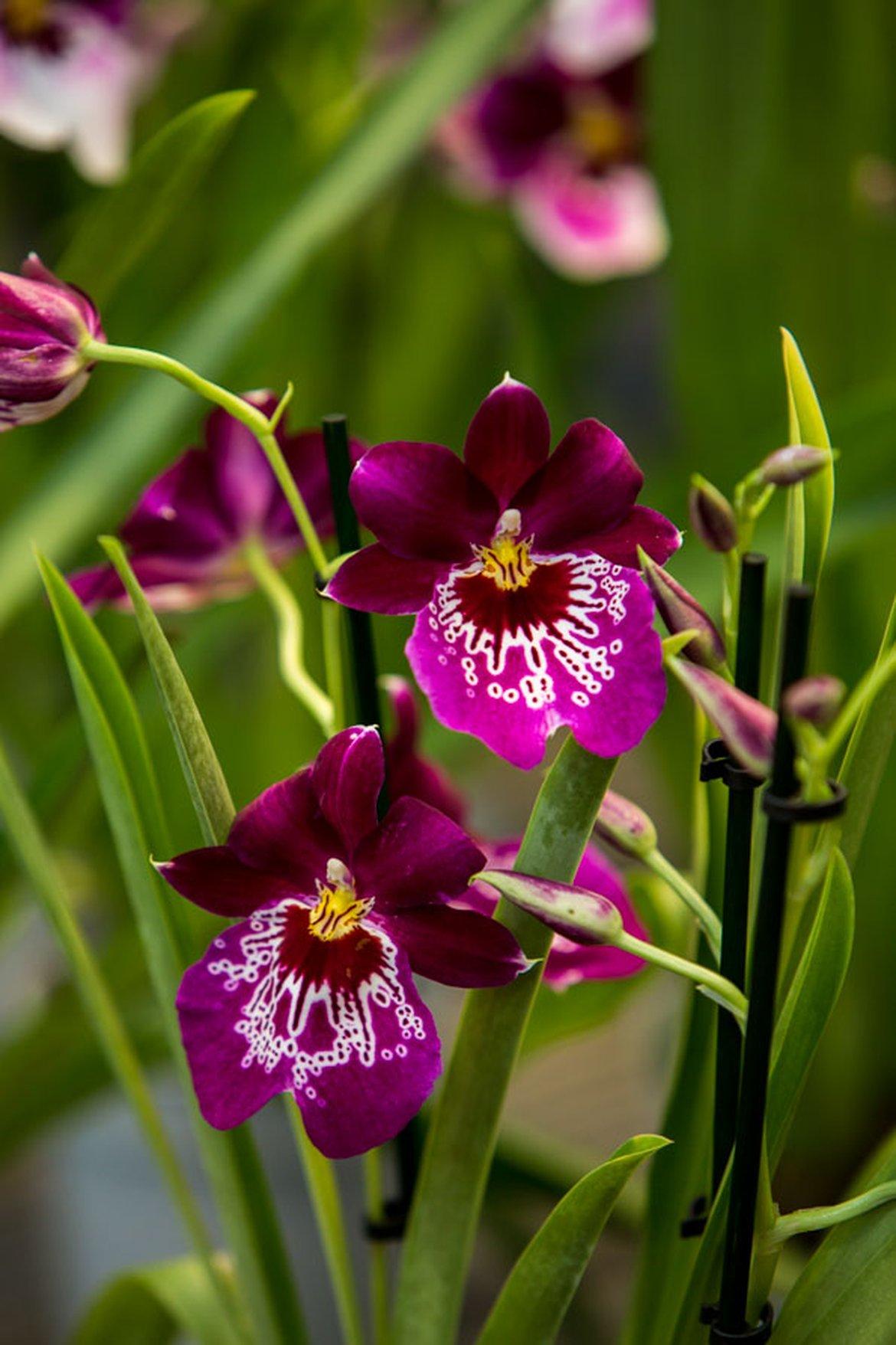 conseils et soins des orchid es schilliger. Black Bedroom Furniture Sets. Home Design Ideas