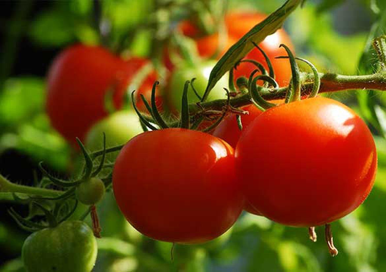Tomate En Pot Conseil tomates : les incontournables de votre potager | schilliger