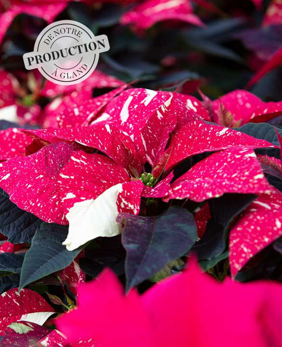 Poinsettias de notre production