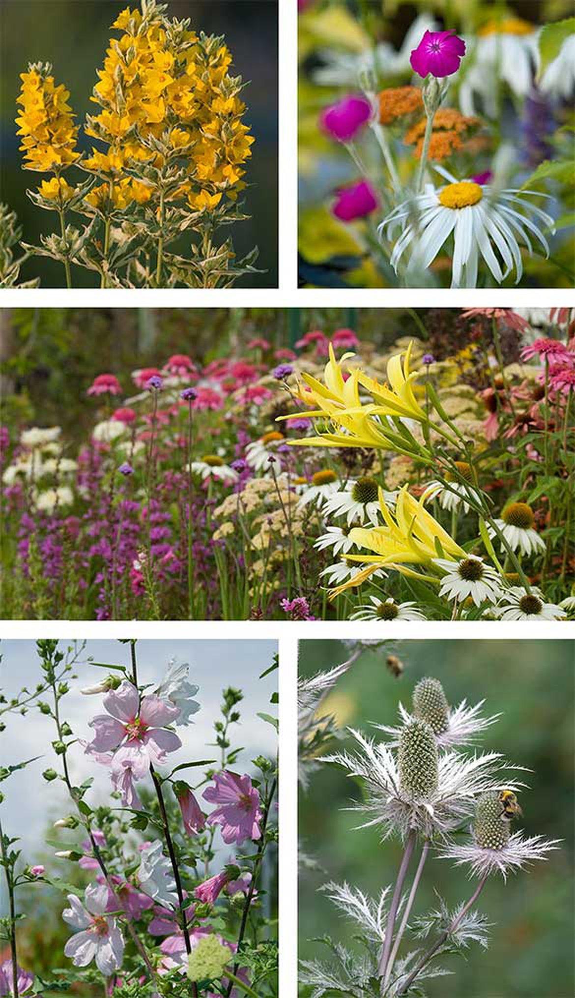 Plantes vivaces schilliger for Plantes fleuries vivaces
