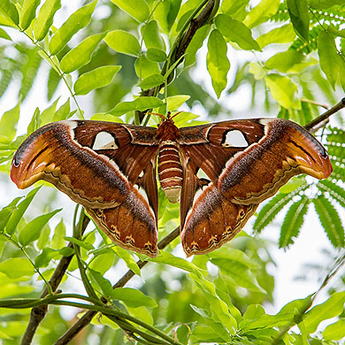 Papillon Attacus atlas