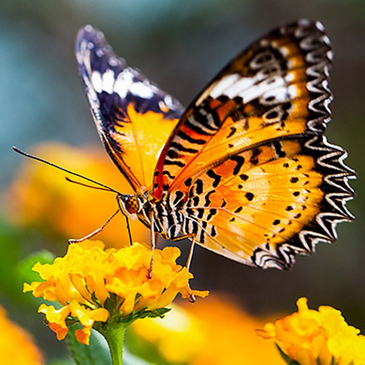 Papillon Leopard Lacewing
