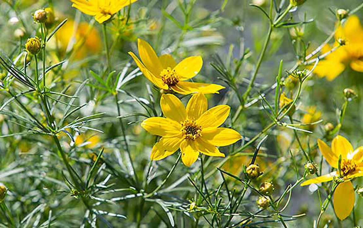 coreopsis verticille