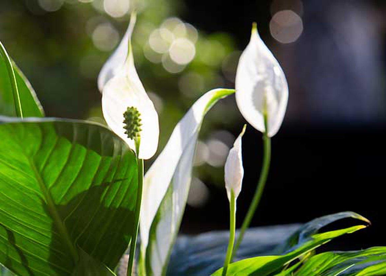 Plante D Intérieur Qui Aime La Chaleur sélection de nos experts : 5 belles plantes à fleurs