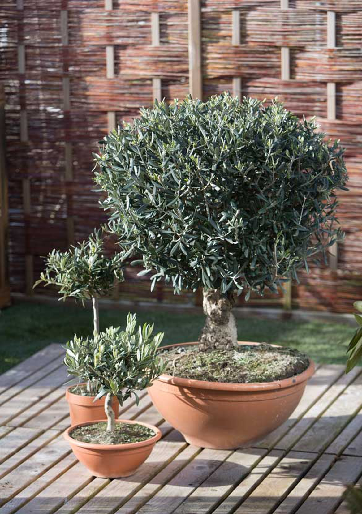 Arbre Fruitier En Pot Interieur l'olivier : plantation, entretien et arrosage | schilliger