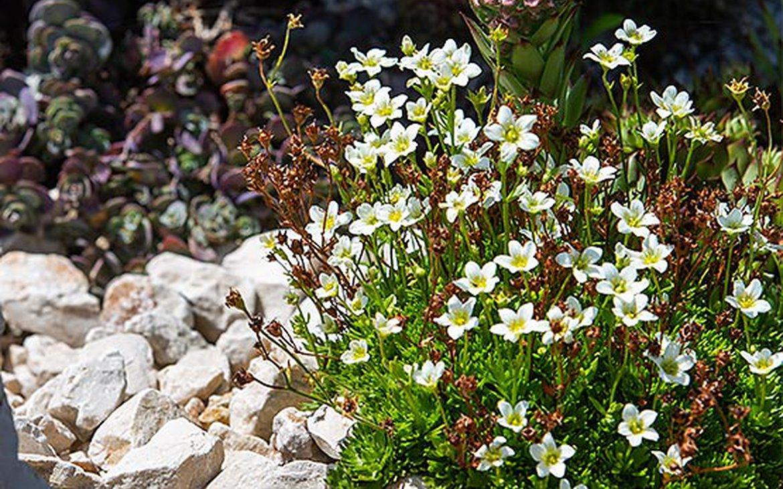 Plante Méditerranéenne Sans Arrosage rocaille et plantes alpines | schilliger