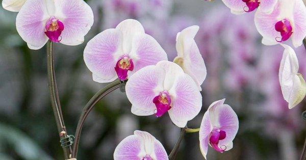 Soins OrchidéesSchilliger Et Conseils Conseils Des Et qGSzMVpU
