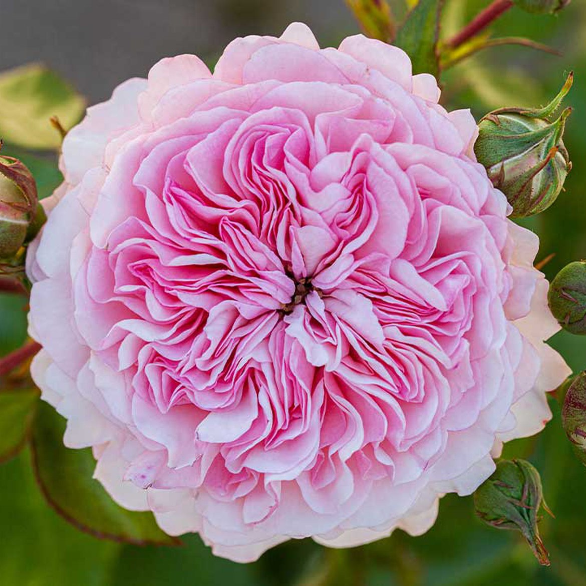 Rose 'Rosa Maria Theresia'
