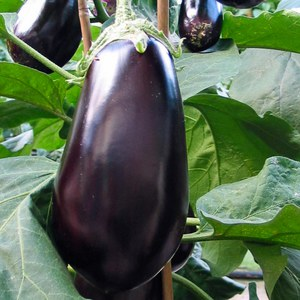 Schilliger Production  Aubergine 'Baluroi' F1  Pot de 10.5 cm
