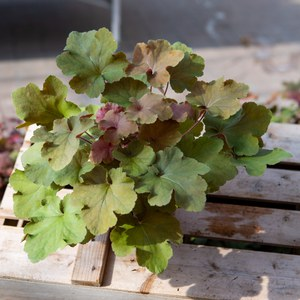 Schilliger Production  Heuchera 'Caramel'  13 cm
