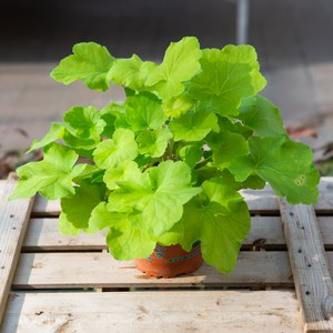 Heuchera 'Citronelle'  pot 13cm