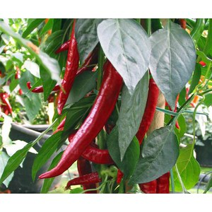 Schilliger Production  Piment de Cayenne  Pot de 10.5 cm