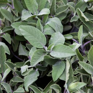 Schilliger Production  Salvia officinalis 'Maxima'  Pot de 13 cm