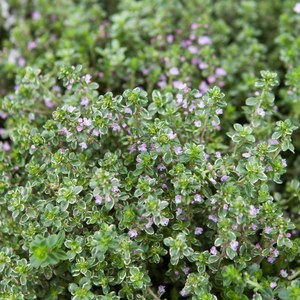 Schilliger Production  Thymus citriodorus 'Silver Queen'  Pot de 13 cm