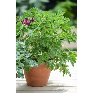 Schilliger Production  Pelargonium x graveolens 'Citronnelle'  Pot terre cuite 14 cm