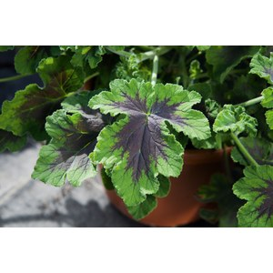 Schilliger Production  Pelargonium 'Chocolate Peppermint'  Pot terre cuite 14 cm