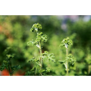 Schilliger Production  Pelargonium limoneum  Pot terre cuite 14 cm