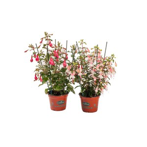 Schilliger Production  Fuchsia  Pot de 13 cm