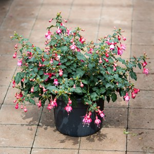 Schilliger Production  Fuchsia  Pot de 19 cm