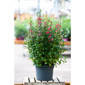 Schilliger Production  Lobelia x speciosa  Pot de 23 cm
