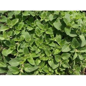 Schilliger Production  Origanum vulgare 'Hot and Spicy'  Pot de 13 cm