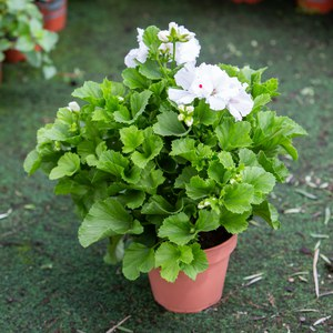 Schilliger Production  Pelargonium grandiflorum  Pot de 15 cm