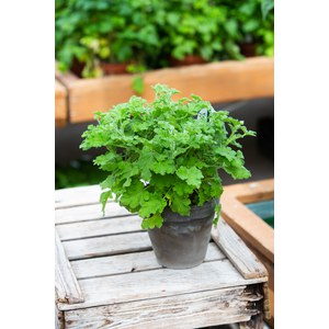 Schilliger Production  Pelargonium 'Concolor Lace'  Pot 14 cm