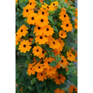 Schilliger Production  Thunbergia alata en pyramide  Pot de 17 cm