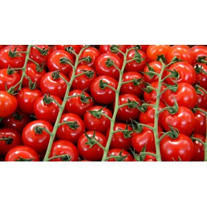 Schilliger Production  Tomate 'Gardner's Delight'  Pot de 10.5 cm