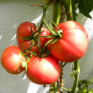 Production Suisse  Tomate greffée 'Rose de Berne'  Pot de 12 cm