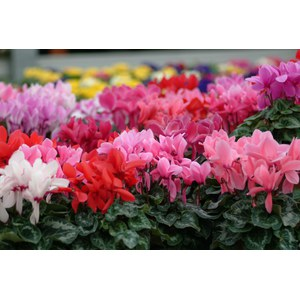 Schilliger Production  Cyclamen mini  Pot 10.5 cm