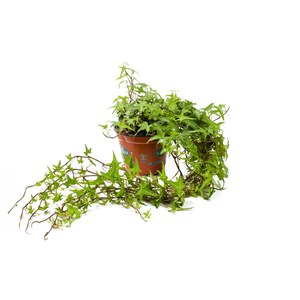 Schilliger Production  Hedera helix  Pot de 13 cm
