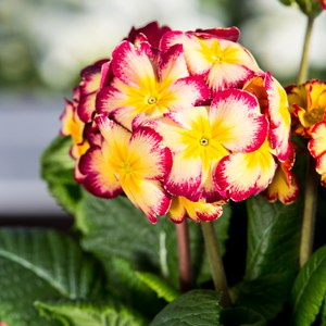 Schilliger Production  Primula elatior  Pot 17 cm