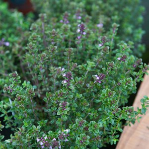 Schilliger Production  Thymus citriodorus  Pot de 13 cm