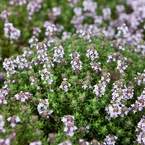 Schilliger Production  Thymus vulgaris 'Compactus'  Pot de 13 cm