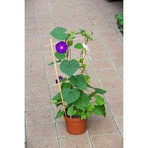 Schilliger Production  Ipomoea purpurea 'Grandpa Ott's'  Pot de 17 cm