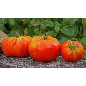 Schilliger Production  Tomate 'Russe'  Pot de 10.5 cm