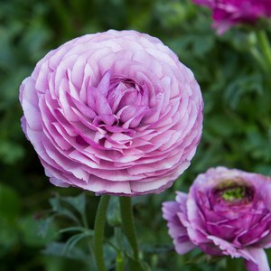 Schilliger Production  Ranunculus asiaticus 'Bloomingdale'  Pot 14 cm