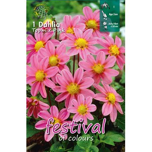 Dahlias Topmix Rose