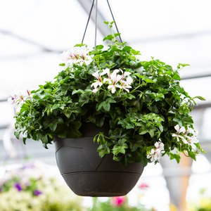 Schilliger Production  Pelargonium en suspension  Suspension 28 cm
