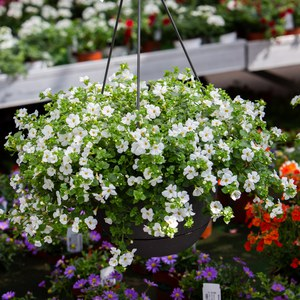 Schilliger Production  Bacopa  Suspension 28 cm
