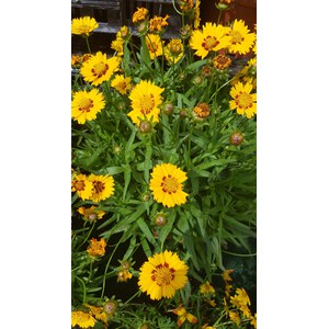 Schilliger Production  Coreopsis grandiflora 'Sunfire'  Pot de 19 cm