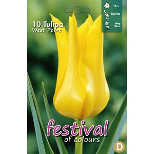 Tulipes fleurs de Lys 'West Point'  10 pcs 12/+